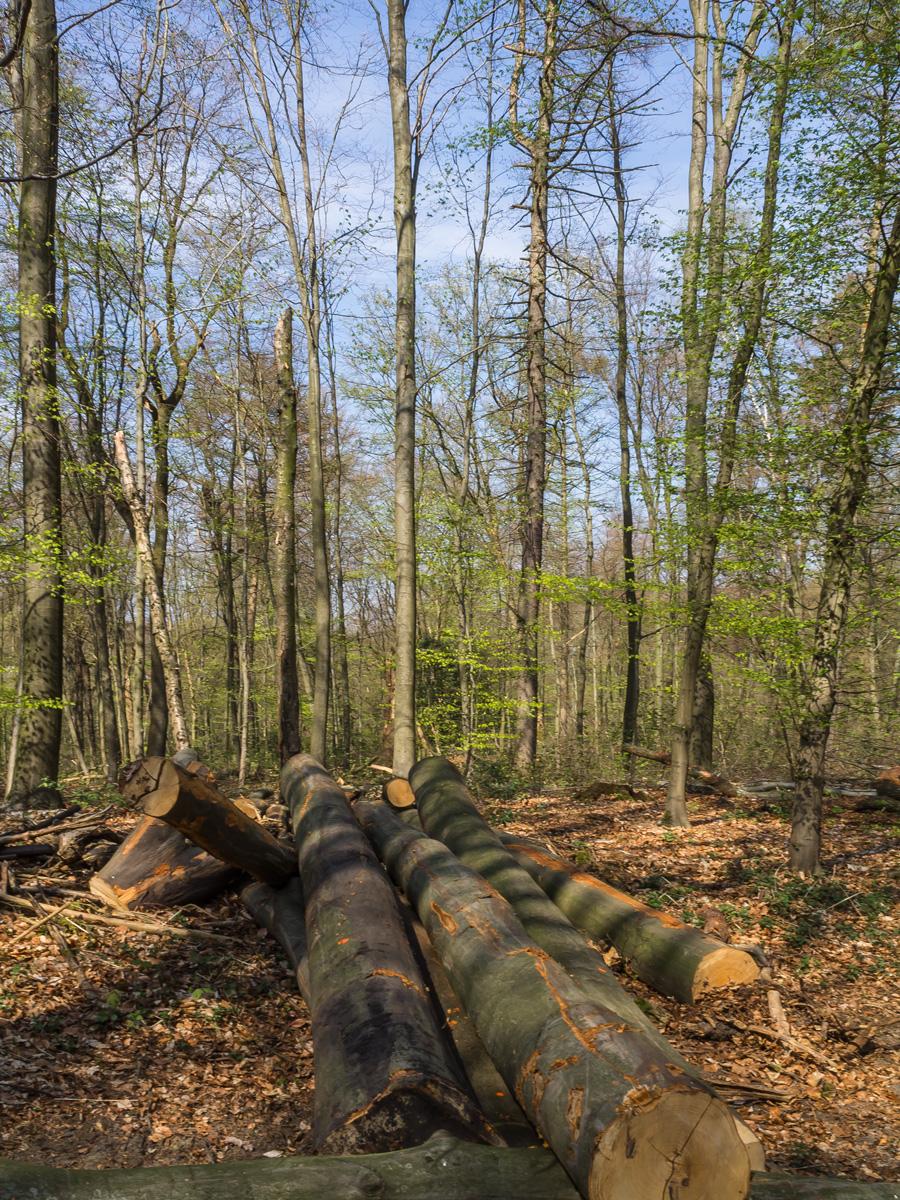 Buchenstämme verstreut im Wald