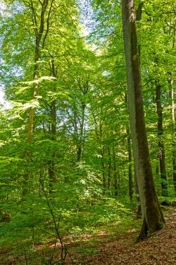 jahrzehntealter Buchennachwuchs unter Mutterbaum