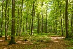 200 Jahre alte Buchen auf Urwaldboden