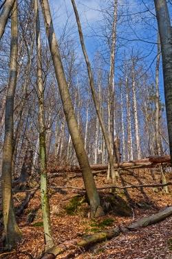 schiefe, umgestürzte und abgestorbene Bäume direkt am Wanderweg im Ilsetal