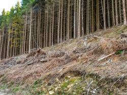 """""""Entwicklung von Wäldern mit gebietsheimischen Erlen und Birken"""""""
