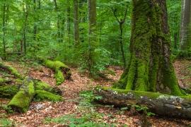 Buchenurwald Uholka (Karpaten-Biosphärenreservat, UNESCO-Weltnaturerbe)
