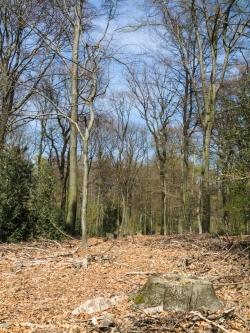 Baumstumpf mit Stechpalmen