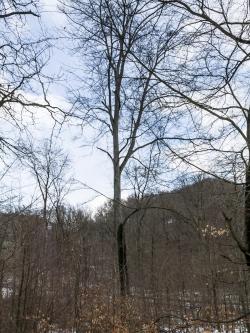 Kranke Altbuche mit Kronenverlichtung und abgebrochenen Ästen am Mittelberg