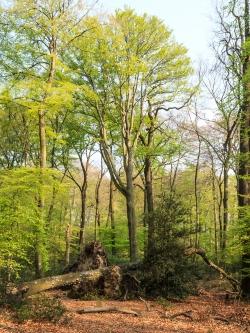 Riesige Altbuchen vor Totholz
