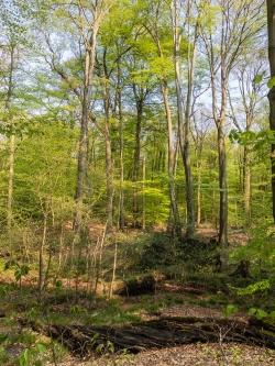 Totholz und majestätische Buchen