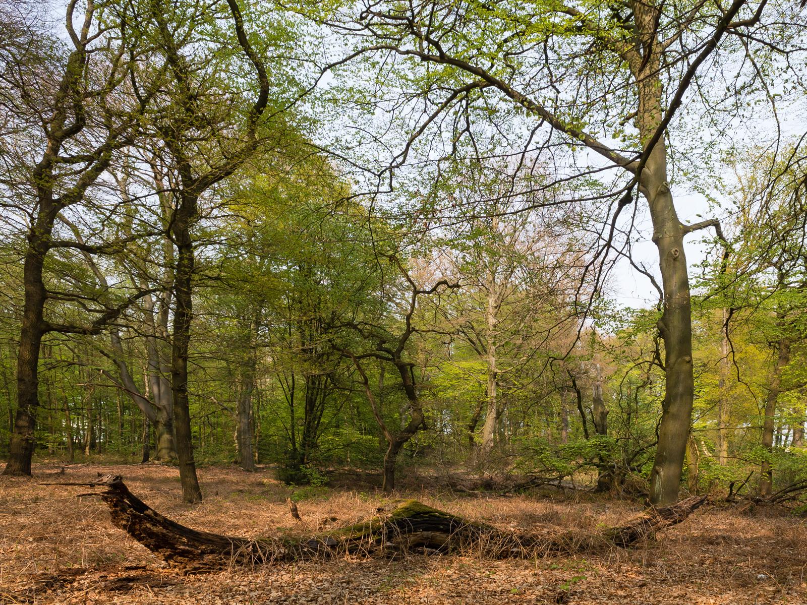 Liegendes Totholz vor Eichen und Buchen