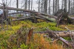 Windwurf am tschechischen Osthang des Lackenbergs