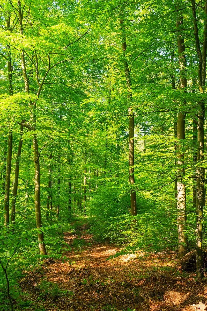 Forstweg durch den vorratsreichem Buchenplenterwald