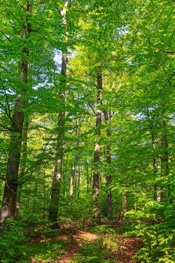 fast reiner Buchenplenterwald
