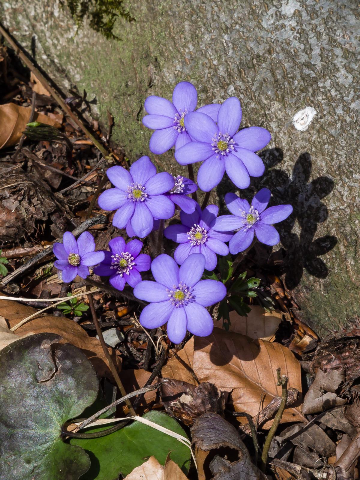 bildet Blätter erst nach Blüte