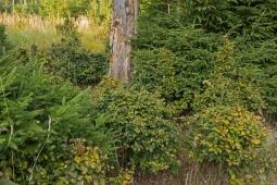 Buchen wie Buchsbaumkugeln rund um eine abgestorbene Eiche