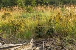 Buchenbonsais inmitten der Reitgrassteppe