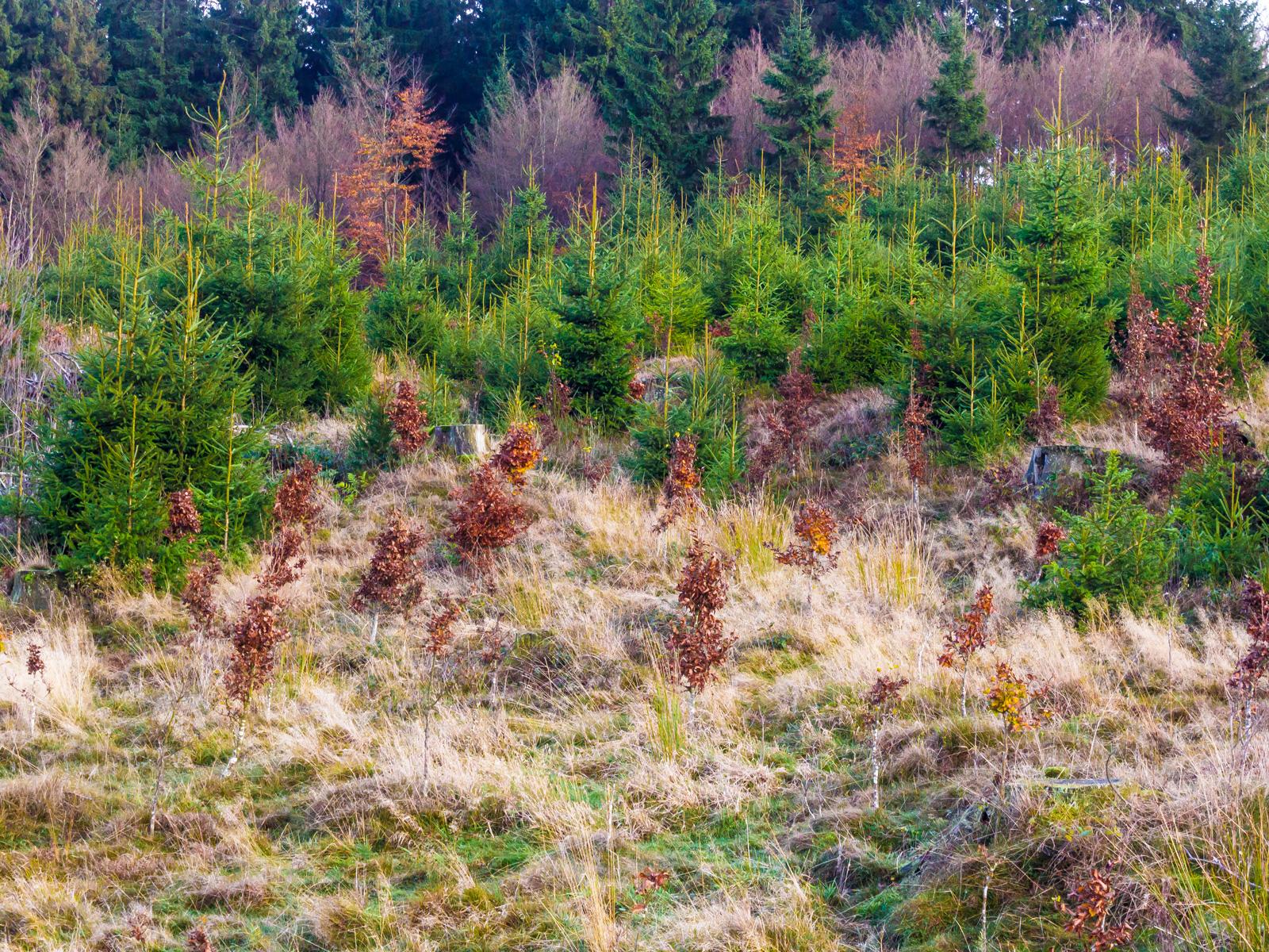 Wildschäden an künstlich gepflanzten Buchensetzlingen