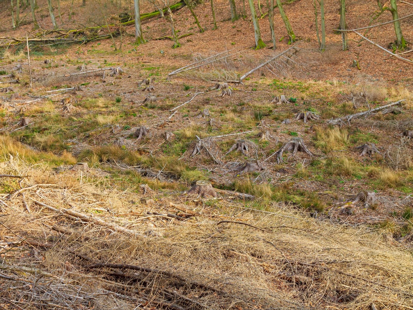 Fichtenkahlschlag unterhalb eines alten Buchenwalds am Lorbach