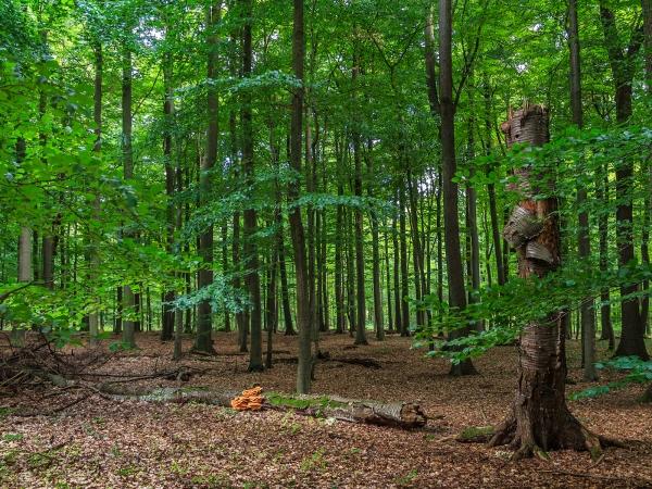 Ruine einer Vogelkirsche im Forst Ritzerau