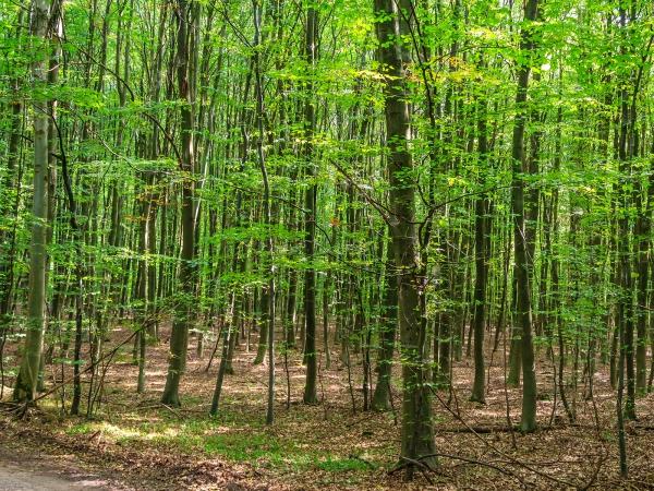 Buchenbaumholz im Forst Ritzerau