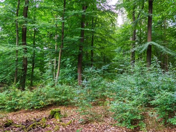 Verjüngungsfläche mit kleinem Stubben im Forst Ritzerau