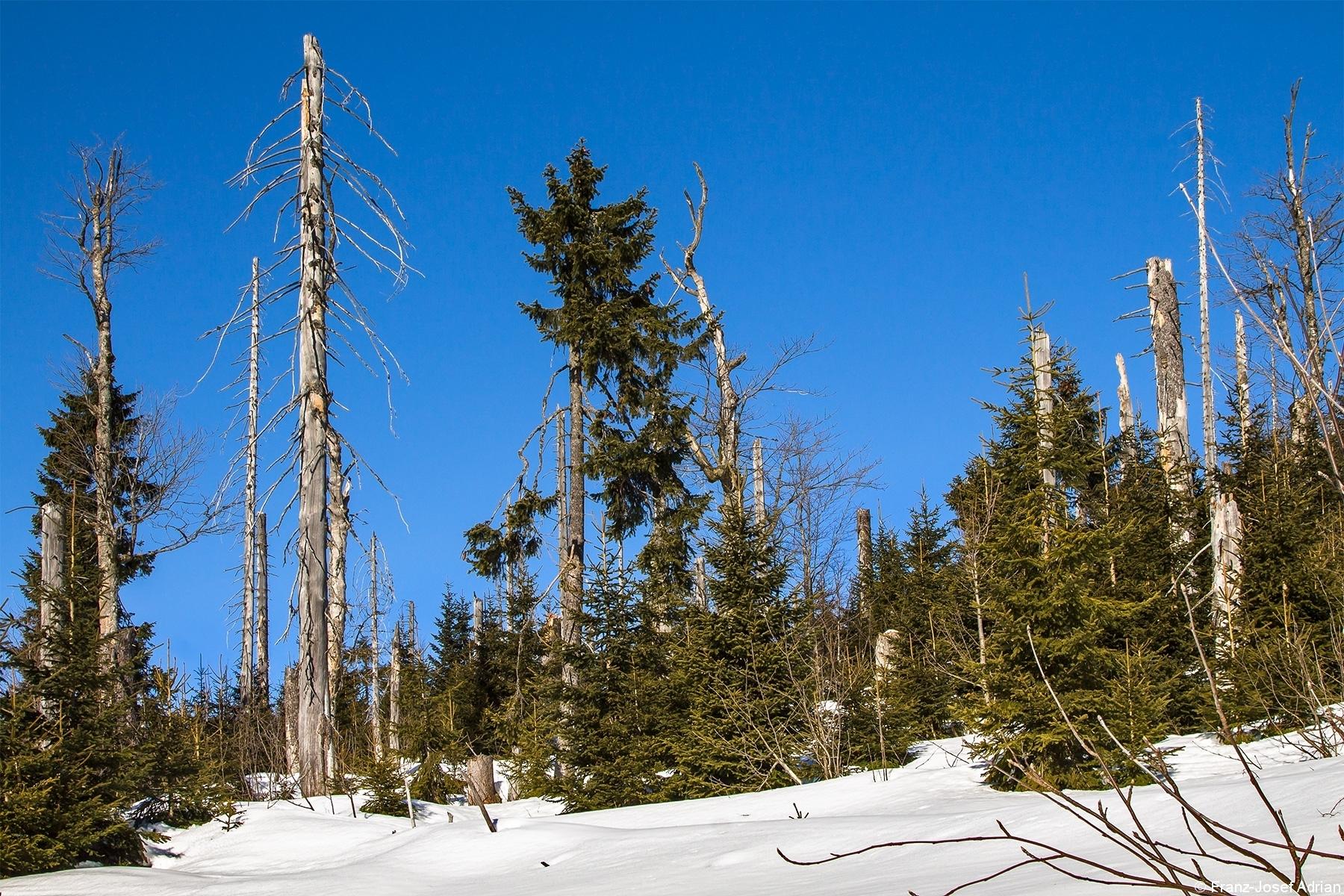 Junger Bergfichtenwald am Lusenhang