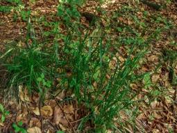 Weißliche Hainsimse  (Luzula luzuloides, Binsengewächse)