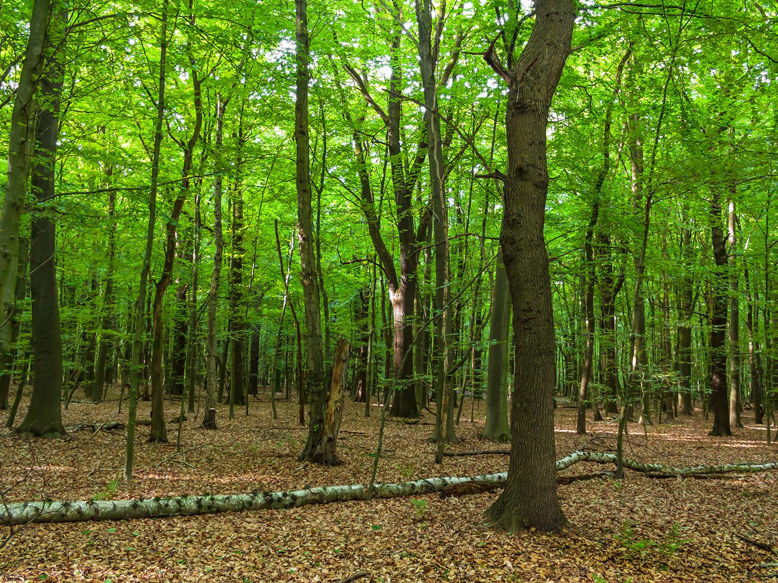 Buchenwald mit einigen mächtigen alten Eichen