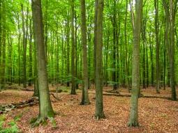 Buchenwald mit liegendem schwachen Totholz