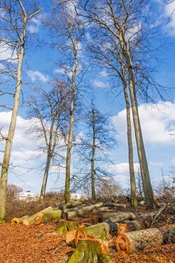 verpilzte und unverpilzte Bäume am Trampelpfad