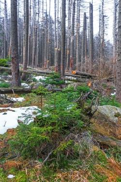Jungfichten im zusammengebrochenen Fichtenwald