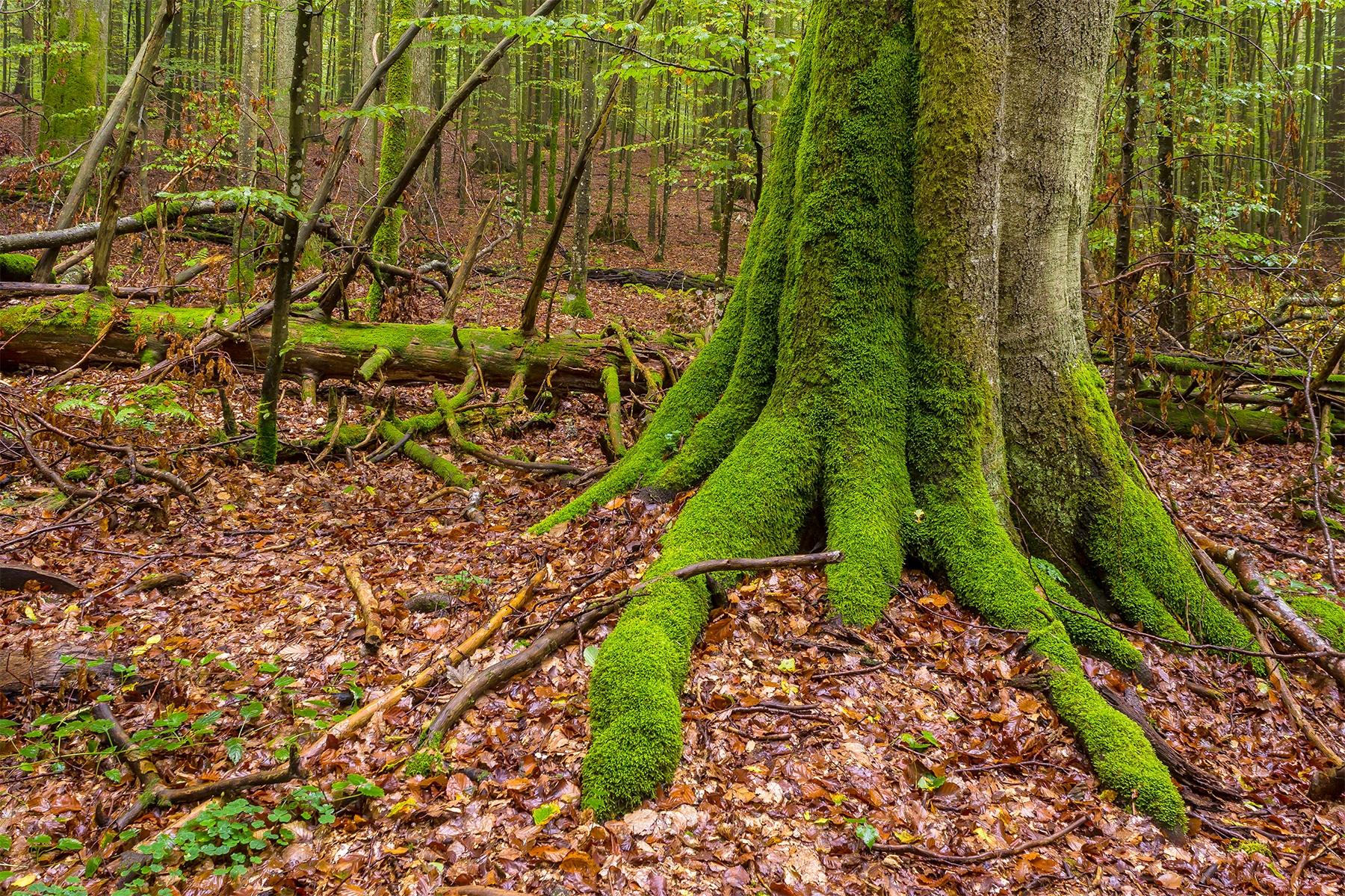 Urwaldrest Mittelsteighütte