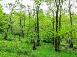 Flachmoor mit verbissenen Buchen und Stechpalmen
