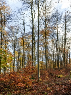 holzarmer Wald nach der Entfernung der alten Buchen