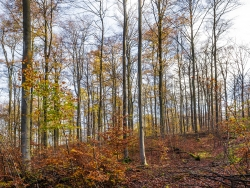 """""""drastische Verschlechterung des Lebensraumtyps Buchenwald"""" (Gutachten)"""