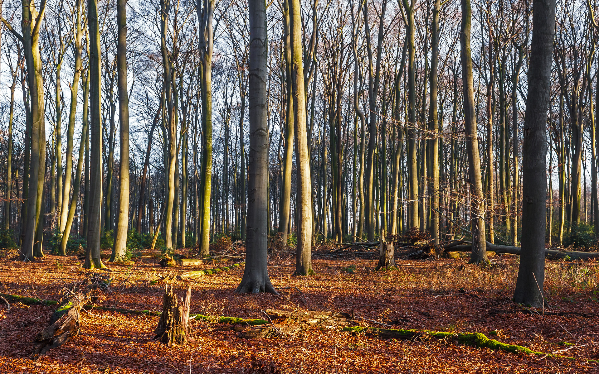 Buchenhallenwald mit immergrünen Stechpalmen im Hintergrund