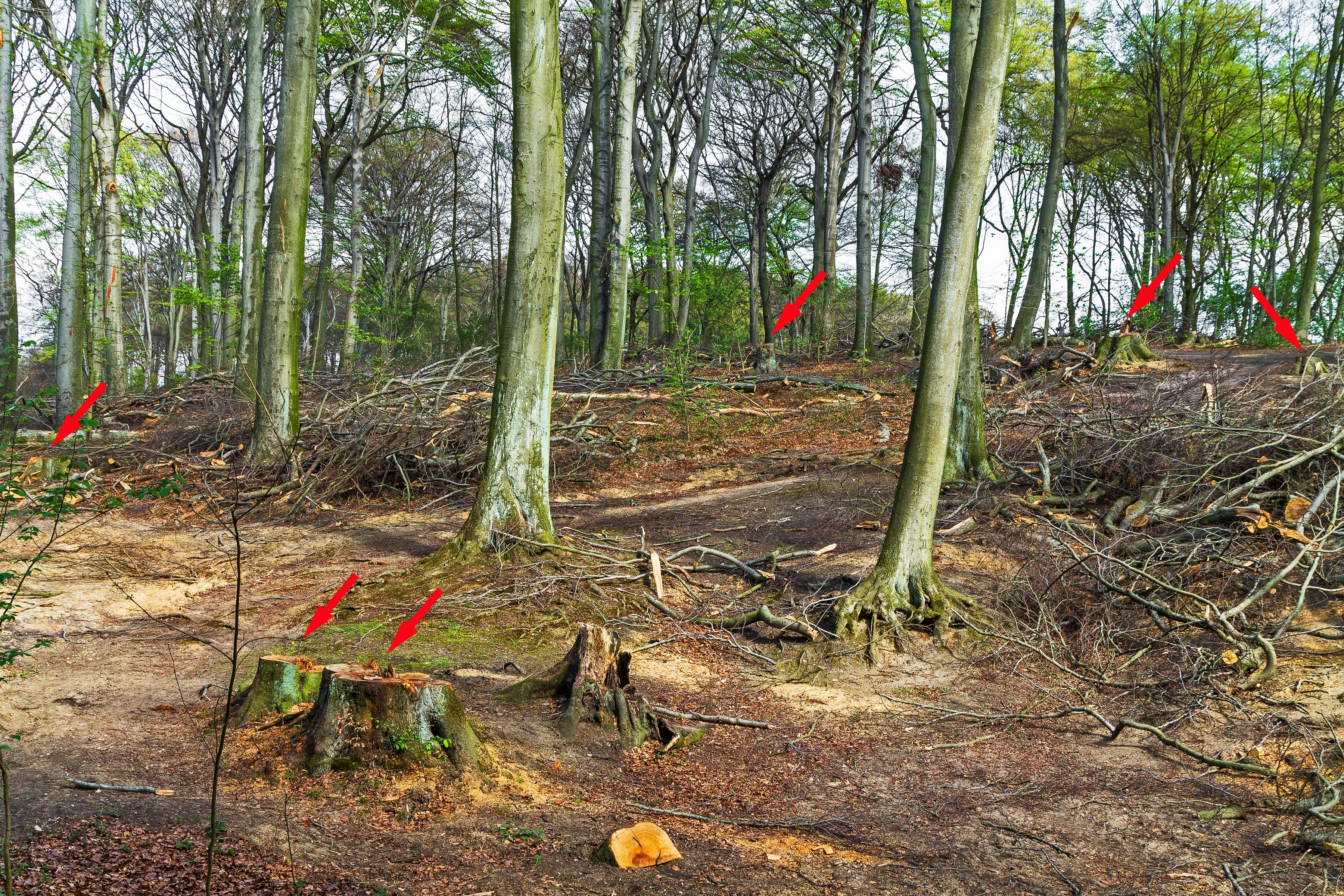 zerstörter Buchenwald mit 6 gefällten Altbuchen