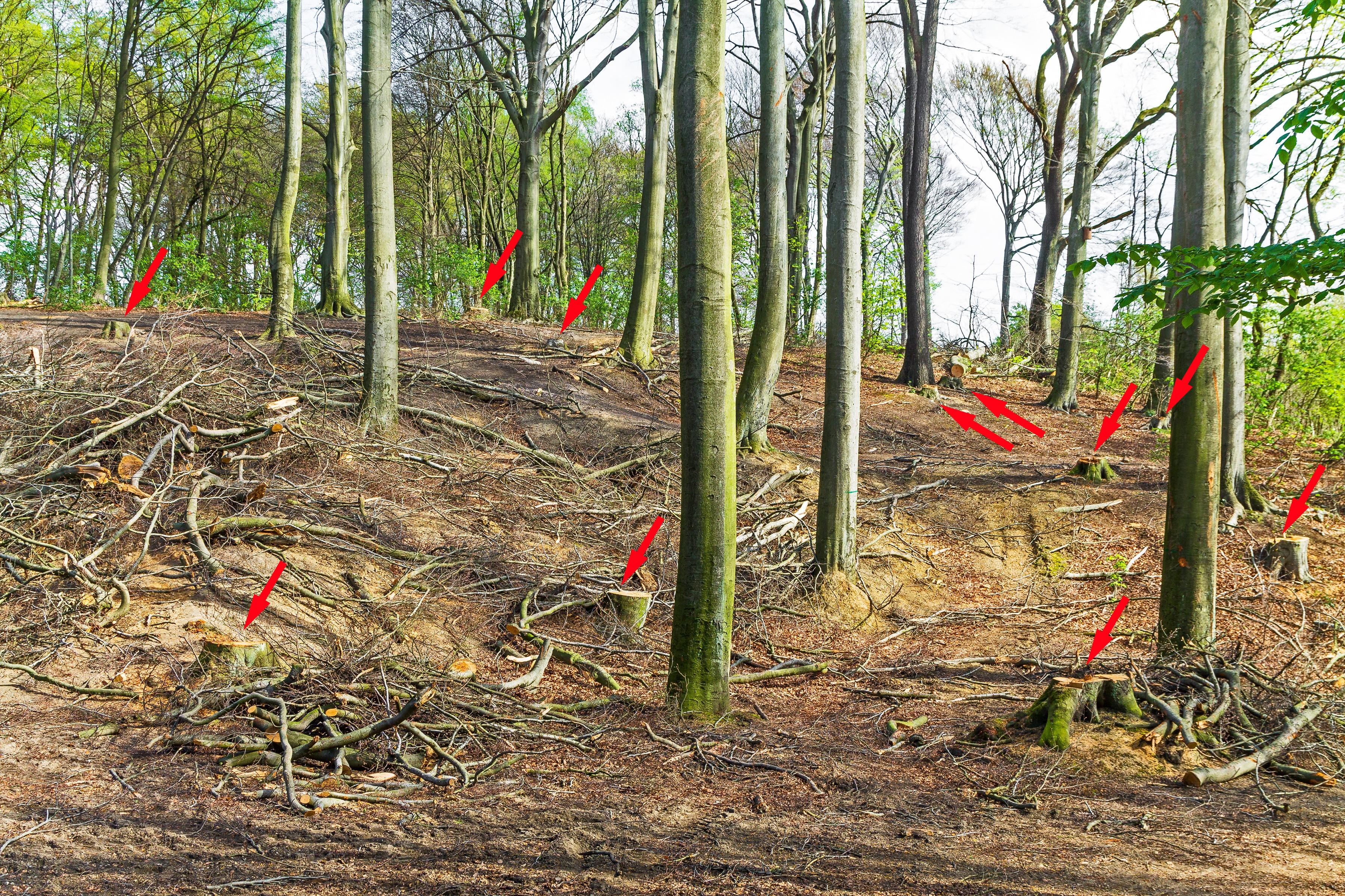 11 gefällte Altbuchen auf humuslosem Waldboden