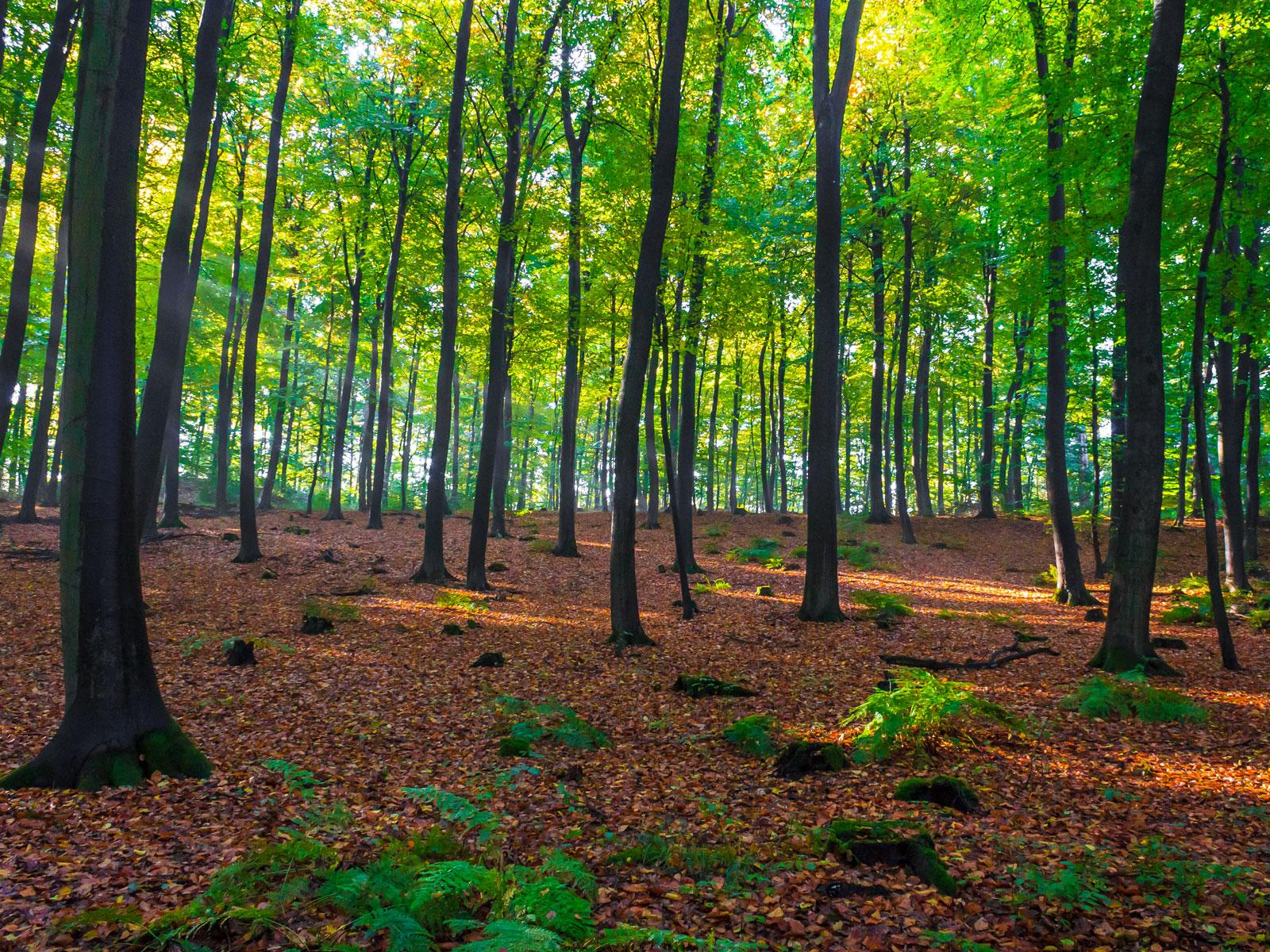 Einschichtiger Altersklassenwald