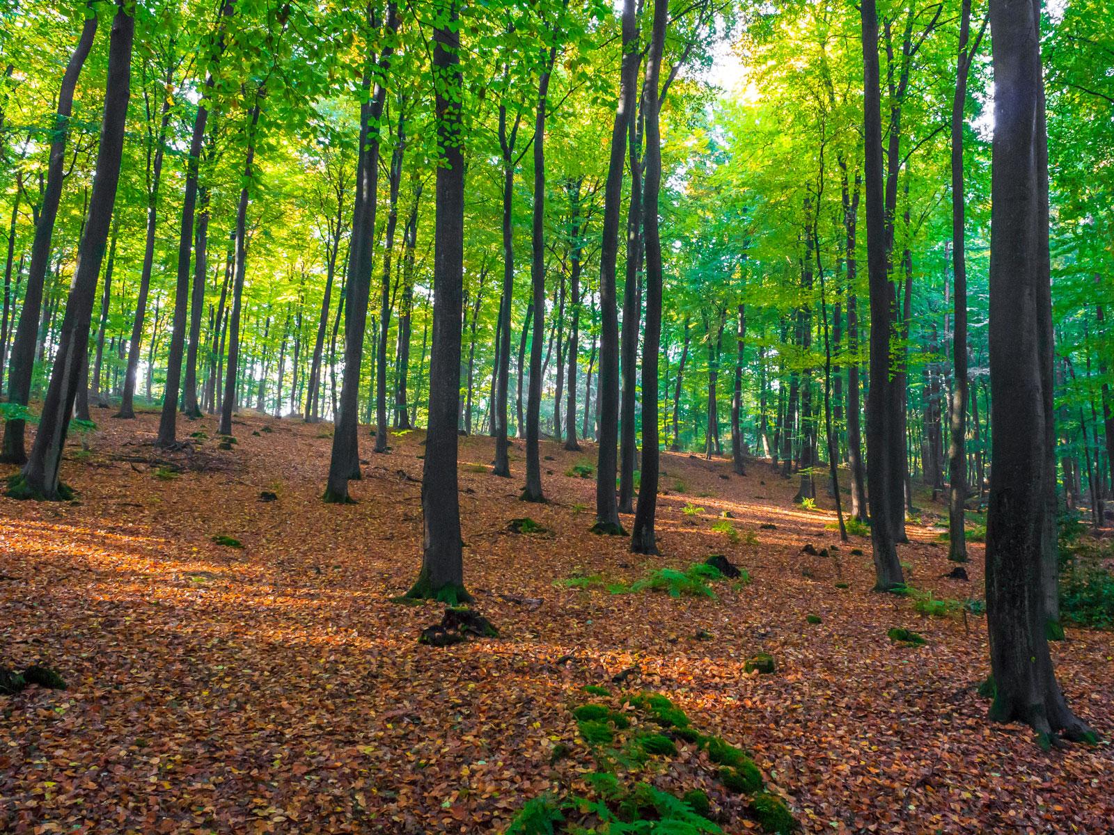 Unzählige Baumstümpfe im holzarmen Hallenwald