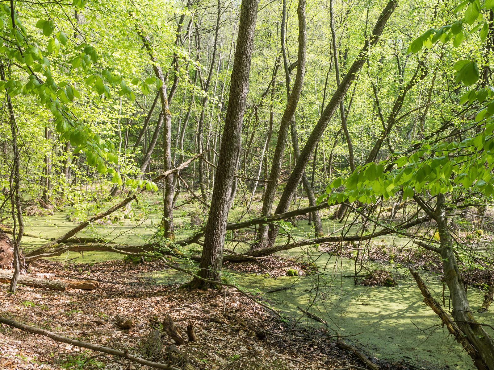 Erlen-Sumpfwald im Verlandungsmoor