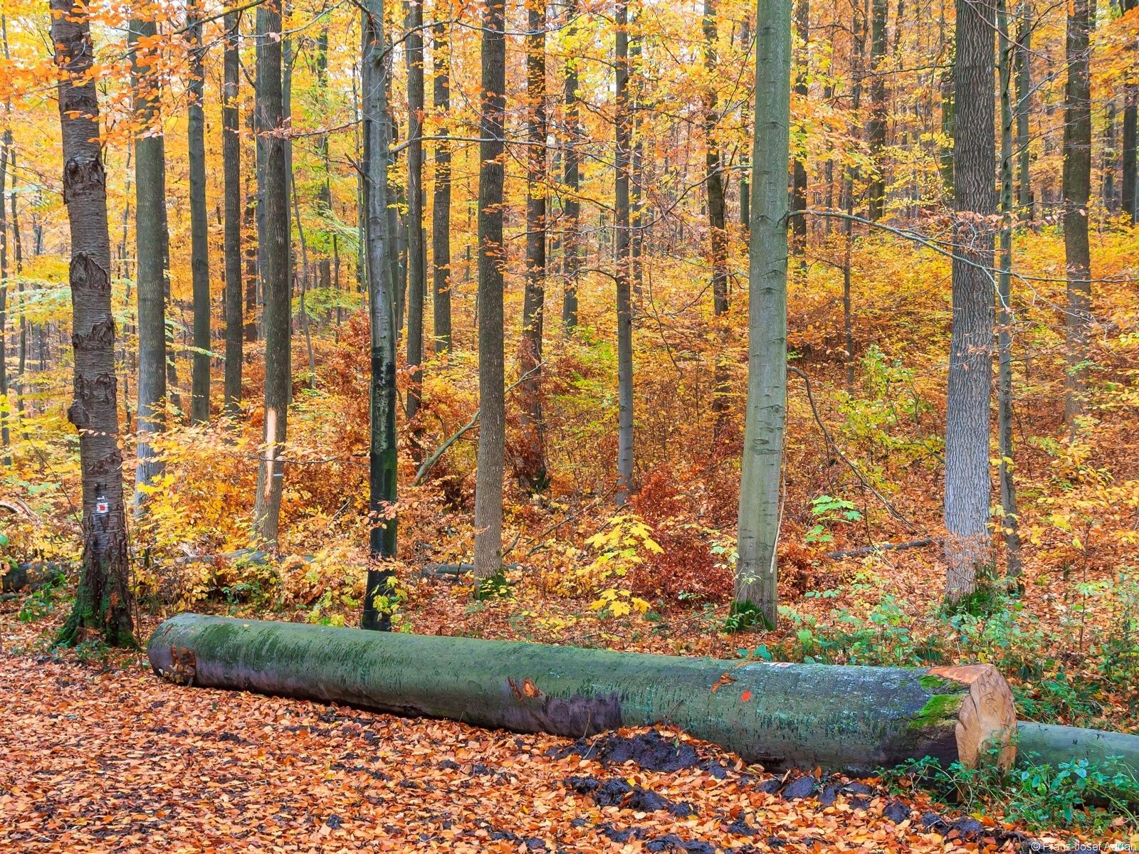 68 cm dicker Baumstamm vor abwechslungsreichem Plenterwald