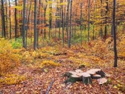 Einzelstammweise Nutzung im Plenterwald