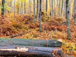 Ernte von qualitativ hochwertigem Starkholz