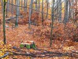 frischer Baumstumpf umgeben von Kultur, Stangen- und Baumholz