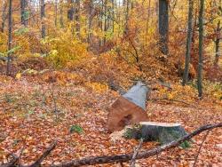 56 cm dicke gefällte Altbuche vor ungleichaltrigem mehrschichtigem Plenterwald