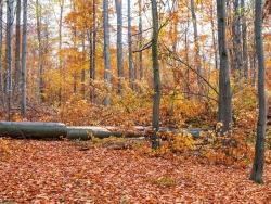 gefällte Altbuchen umringt von Baumholz