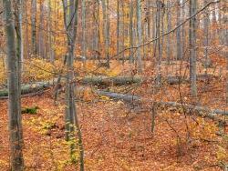 dichtes Stangen- und Baumholz, dazwischen gefällte Altbuchen