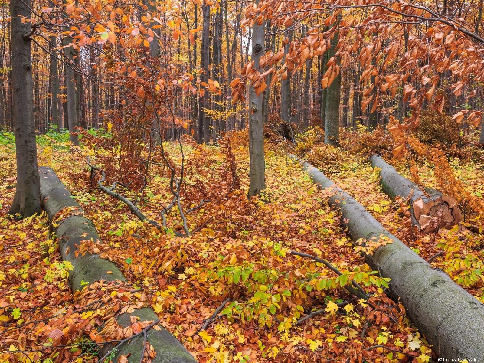vorratsreicher Buchenwald, dazwischen gefällte Buchen