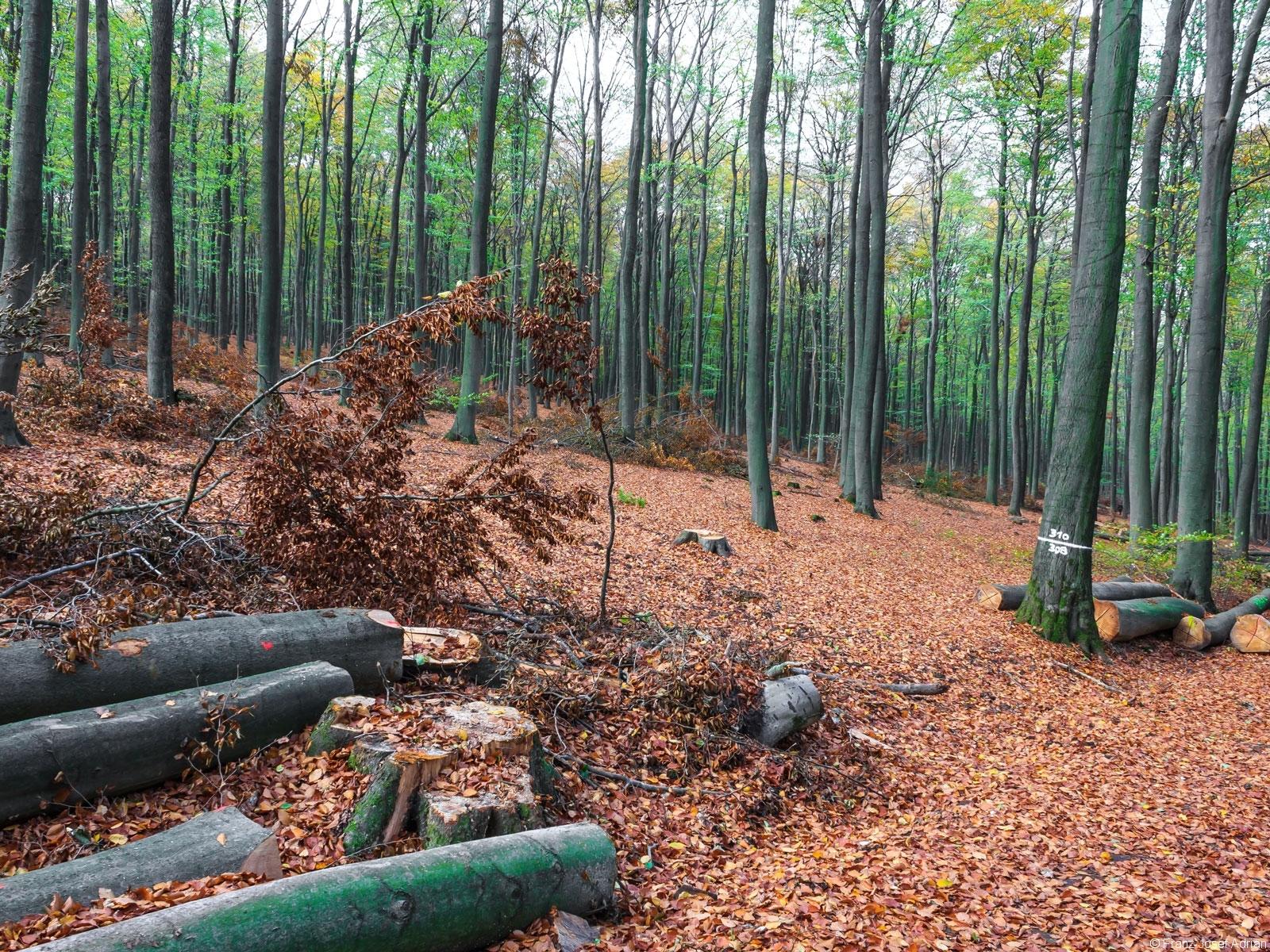 einschichtiger Wald ohne Unter- und Zwischenstand