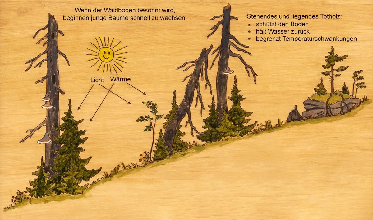 Totholzverjuengung_1