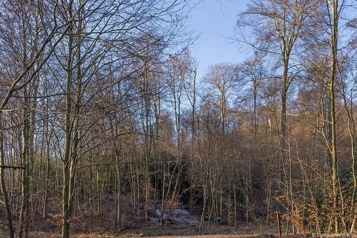 Überhälter im dünnen Buchenbaumholz