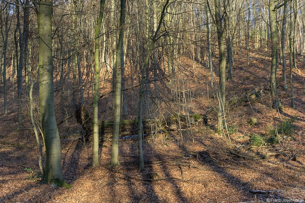 Buchenmatrone im FFH-Gebiet Wälder bei Porta Westfalica